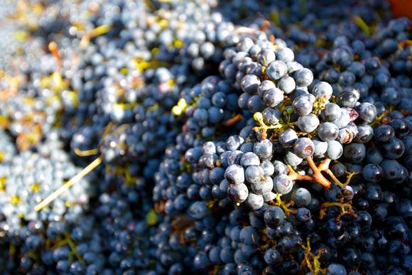 Vendanges 2013, place au savoir-faire des vignerons de blaye côtes de bordeaux