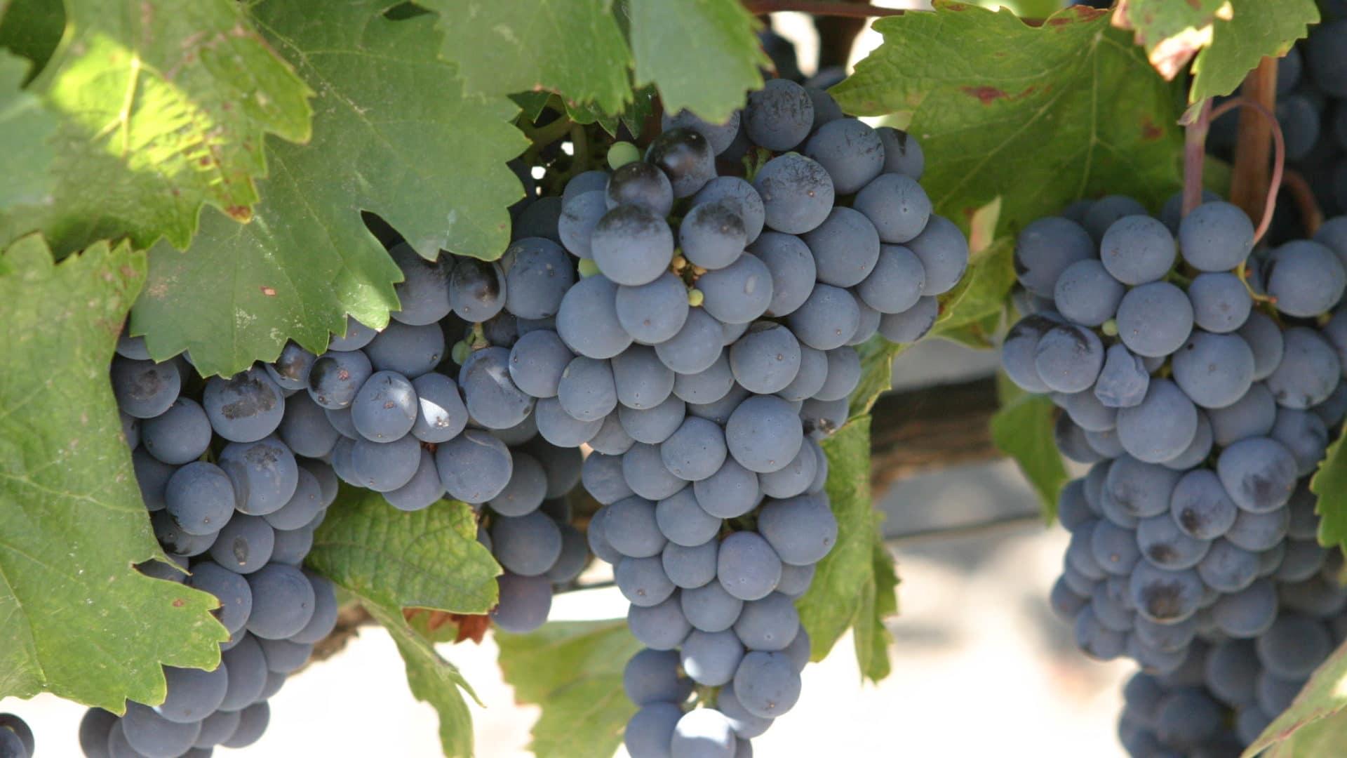 Le malbec : cépage de l'appellation Blaye Côtes de Bordeaux