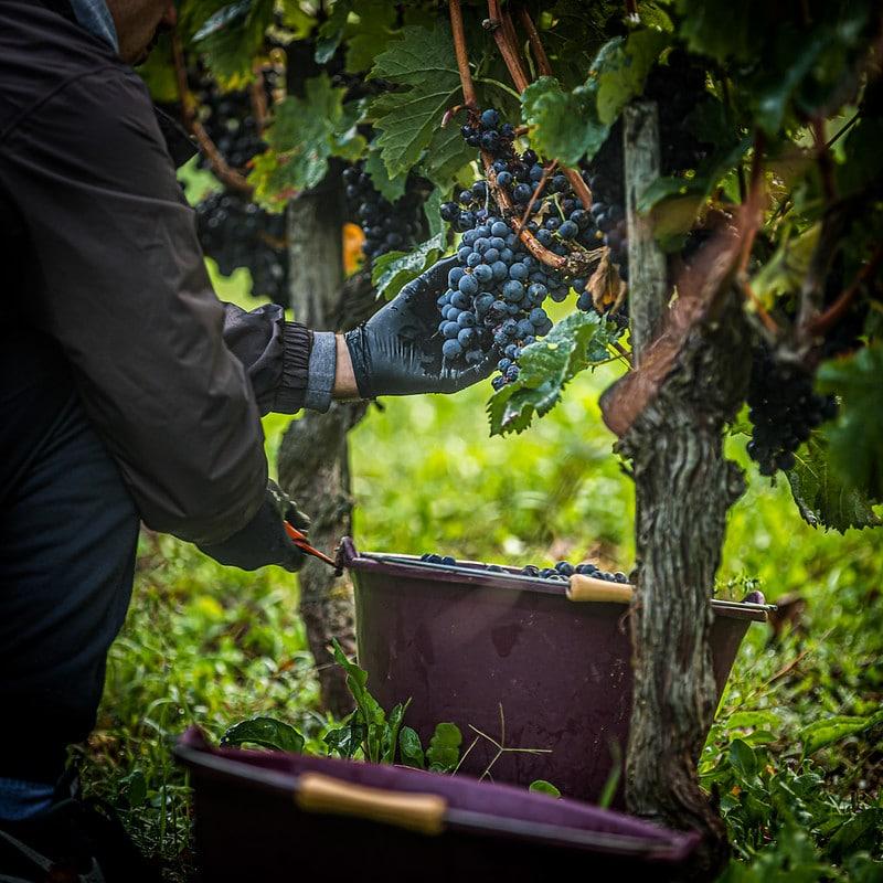 Retour sur les vendanges 2020 en Blaye Côtes de Bordeaux !